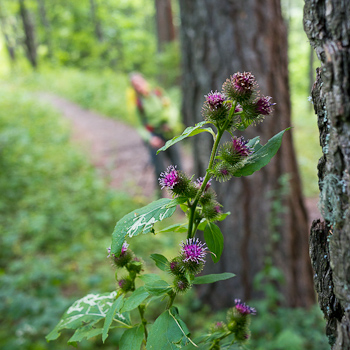fioriture bosco courmayeur