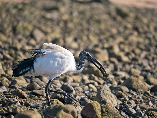 ibis sacro fuerteventura