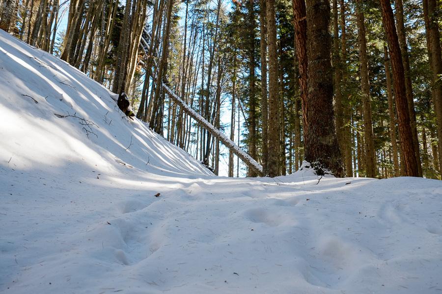 foresta abeti boscolungo abetone