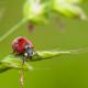 maggiolino rosso macro